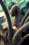 tree fern with fiddlehead