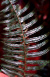 Christmas fern frond underside with sori