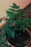 table fern in pot
